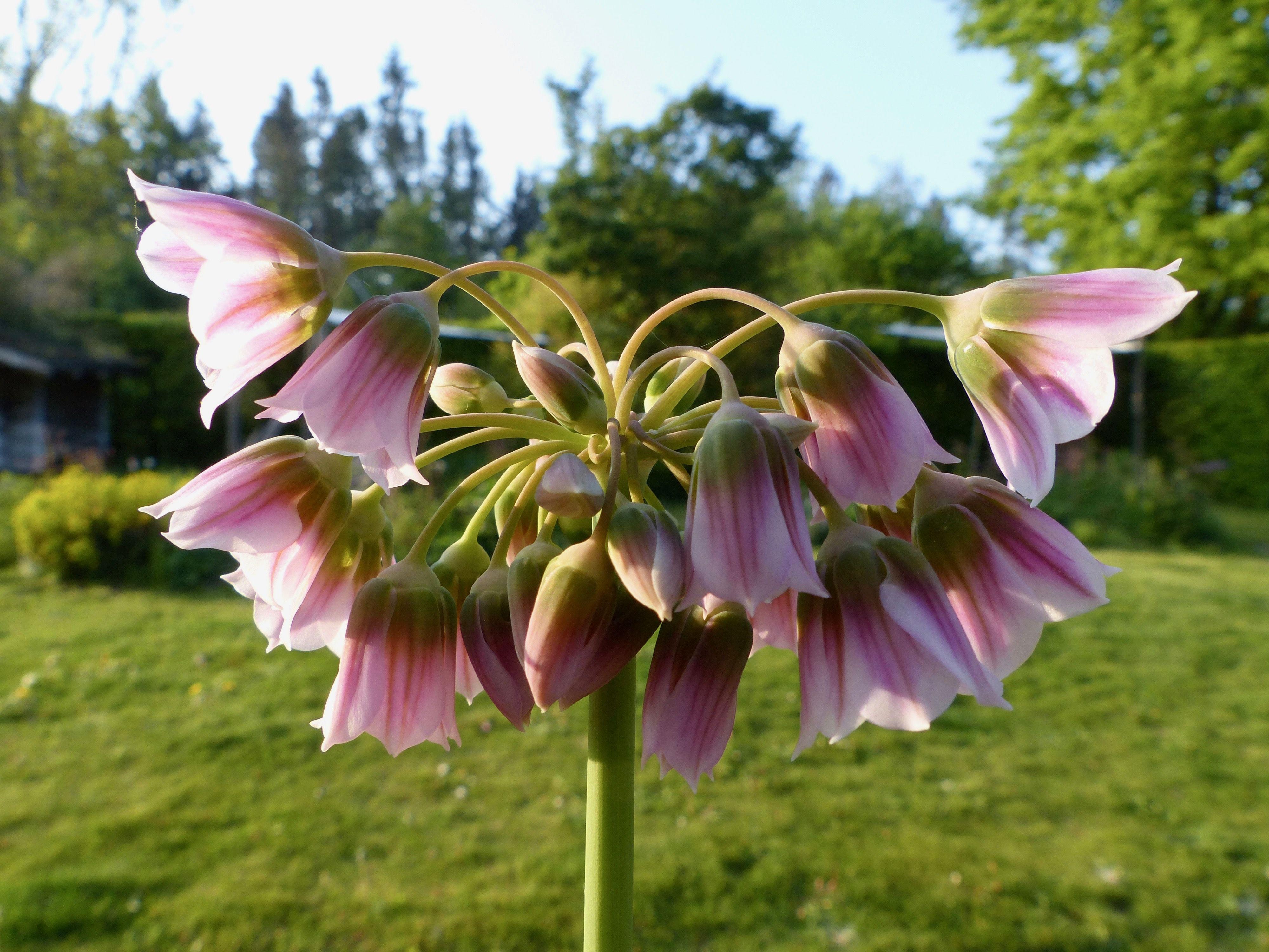 Nectaroscordum Tripedale Pflanzen Zierlauch Gartnerei