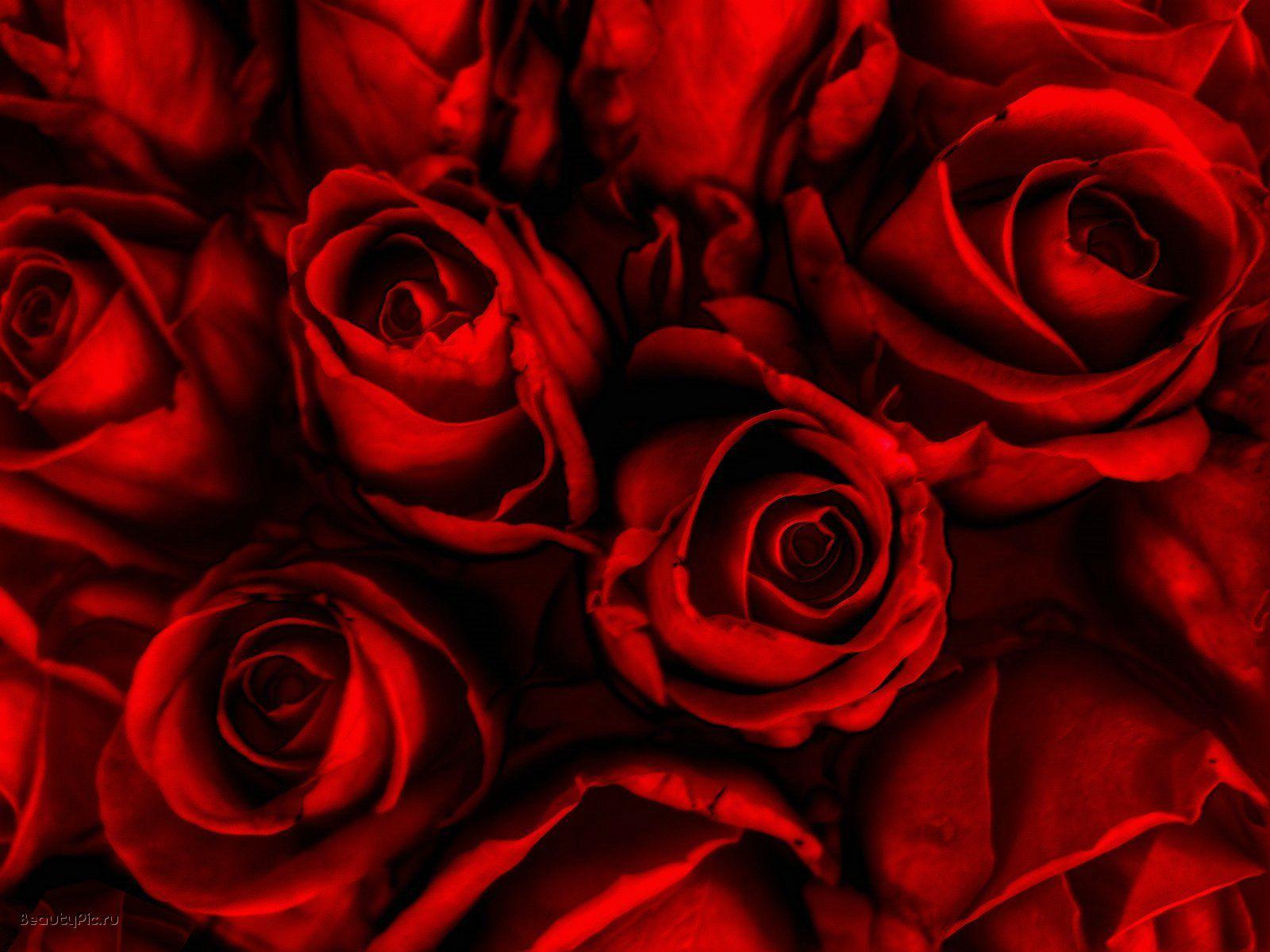Roses Wallpaper Rose Flower Wallpaper Dark Red Roses Red Roses Wallpaper