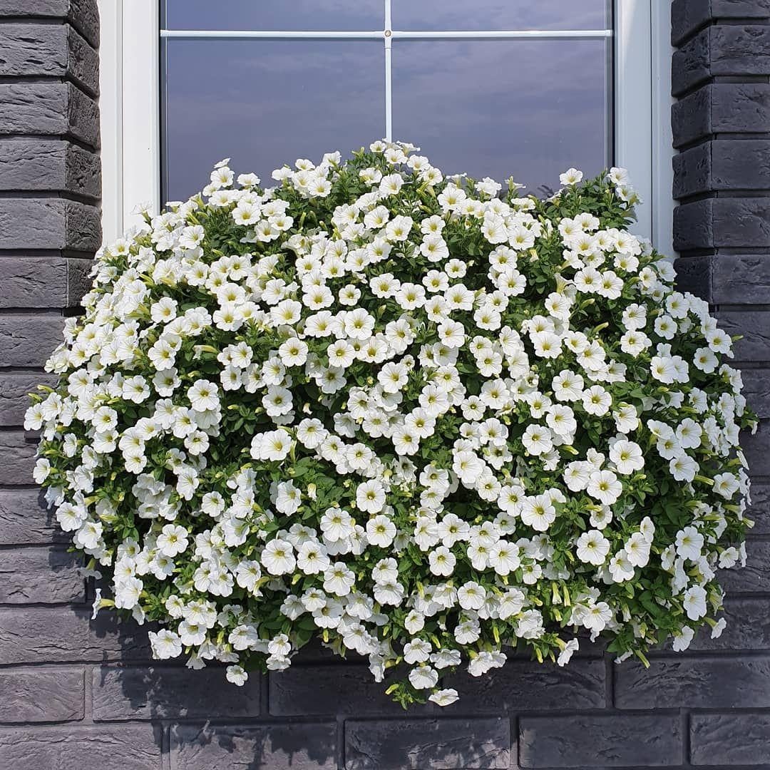 Biala Podusia Flowers Flowerstagram Surfinie