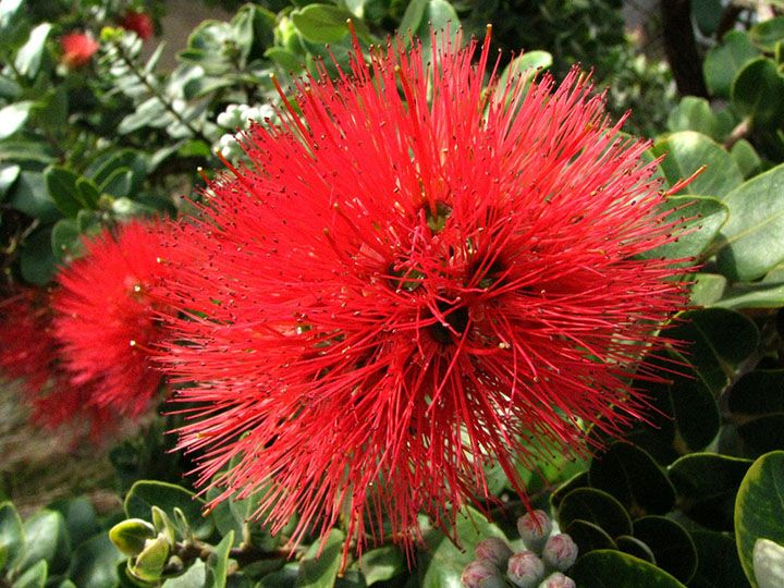 Red Lehua ~ official flower of Big Island