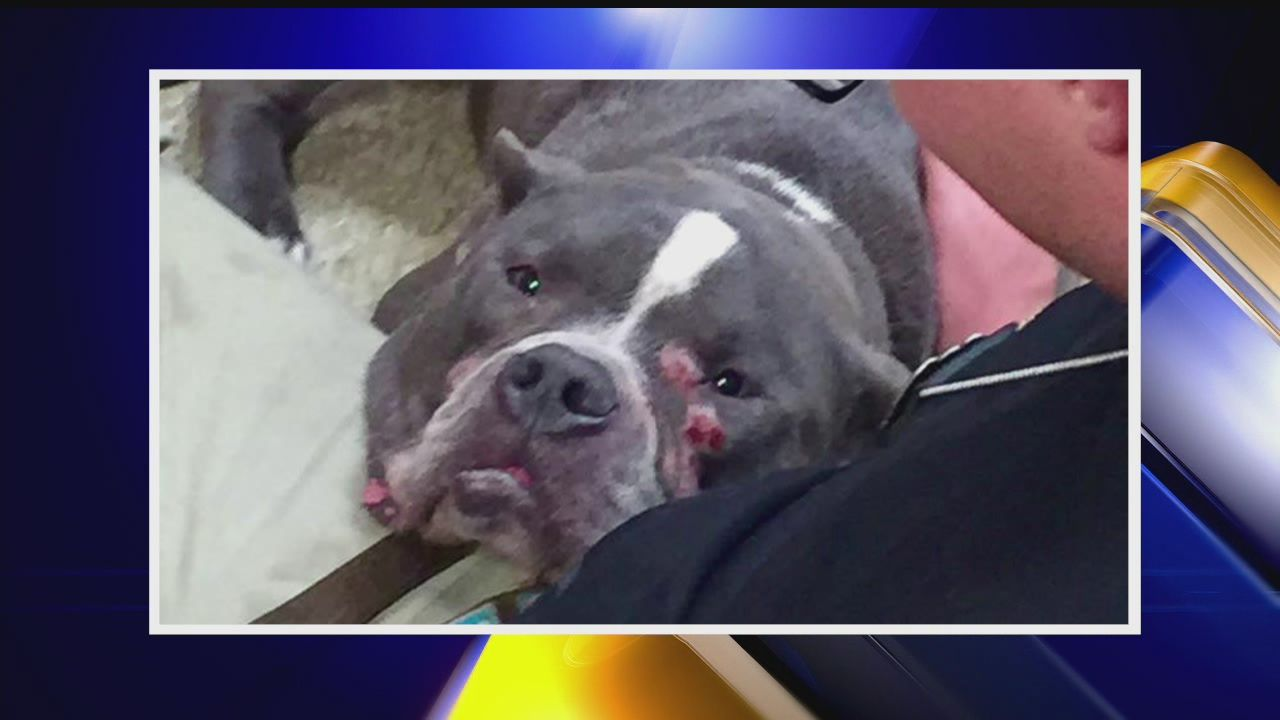 Volunteers: Youngstown rescue dog most likely used for fighting