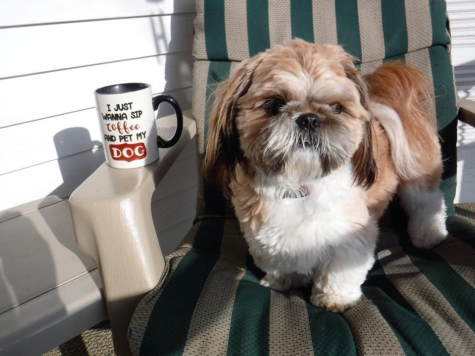 Beautiful Red And White Shih Tzu From Glory Ridge Shih Tzu Shih Tzu Training Your Dog Shih Tzu Training