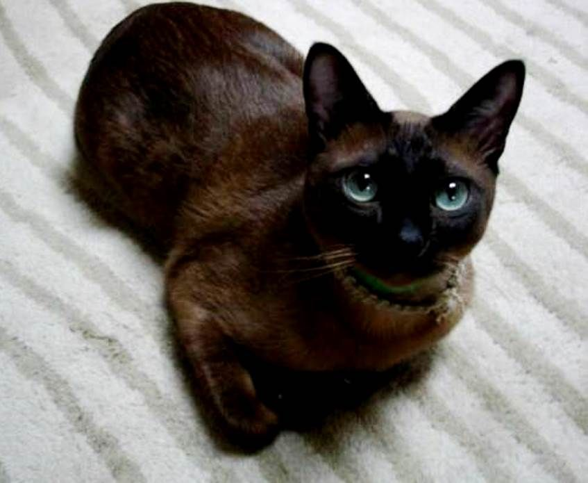 Tonkinese Kitten Sean Naber Tonkinese Kittens Tonkinese Cat