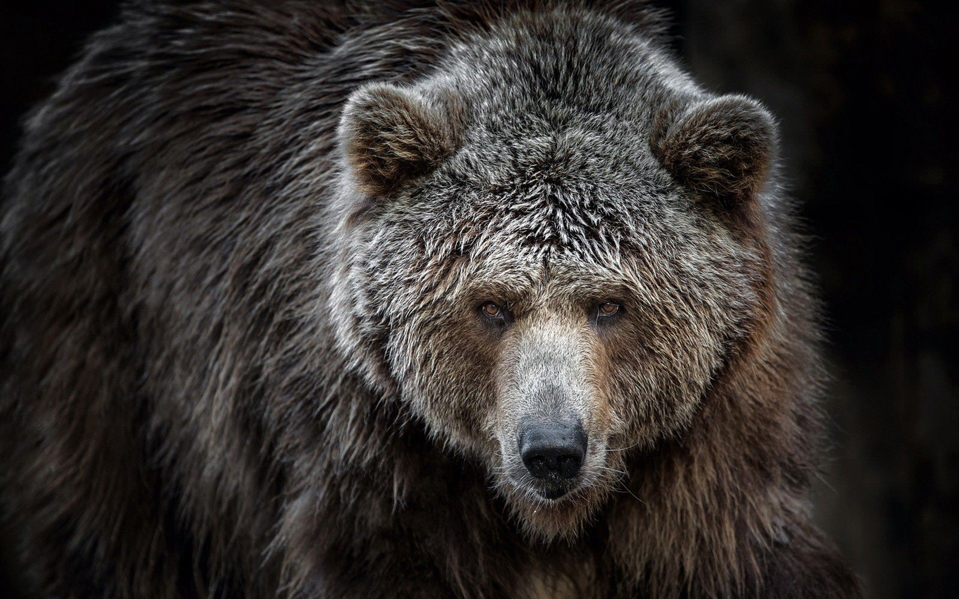 General 1920x1200 animals bears Grizzly Bears Bear