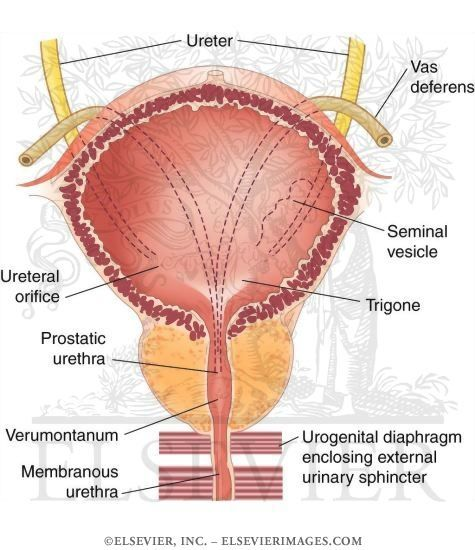 Male Bladder Anatomy Google Search Urinary System Pinterest