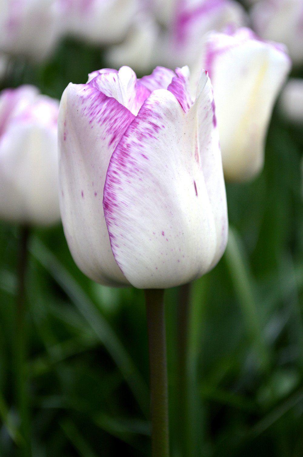 Tulip Shirley Top size bulbs Bulb flowers, Tulips, Tulip