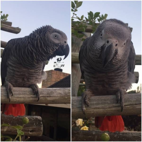 Never Found African Grey Parrot Bird Claremont Cape Town Western Cape Wc South Africa L28721 African Grey Parrot Parrot Parrot Bird