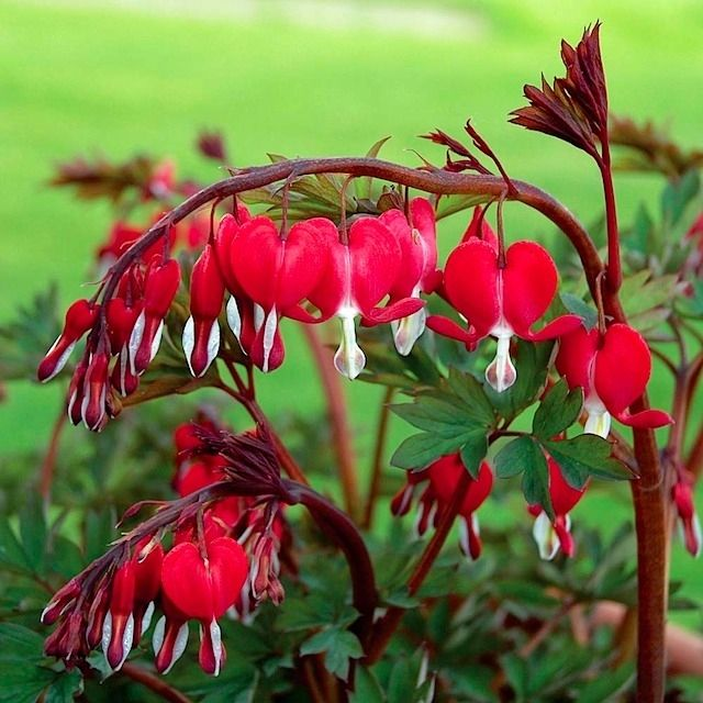 Blooming Today In The Nursery At Westport Winery Dicentra Spectabilis Valentine Bleeding Heart Vivid Red Ste Shade Flowers Bleeding Heart Shade Perennials