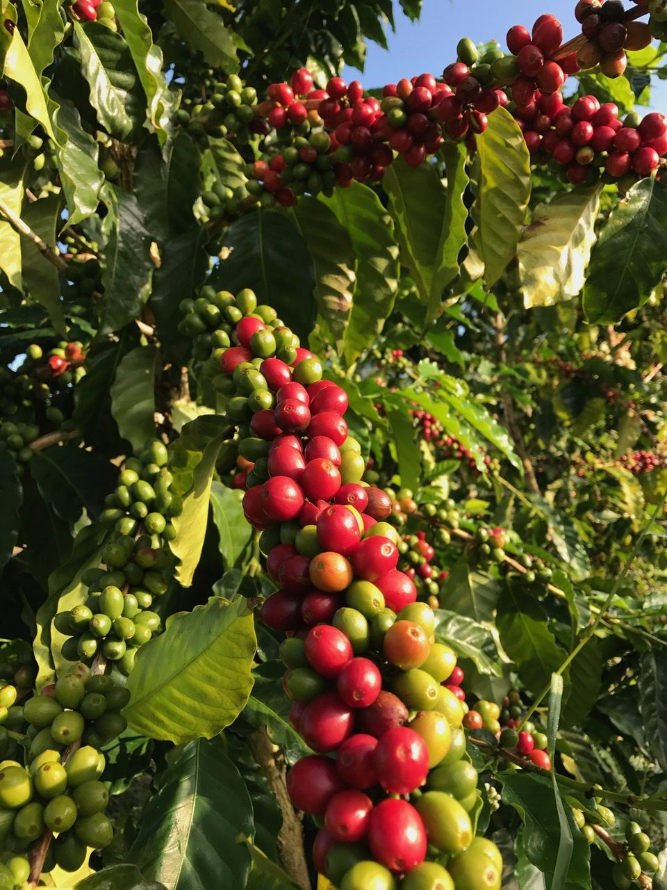 "Kona coffee beans, aka ""coffee cherries,"" ripe and ready"