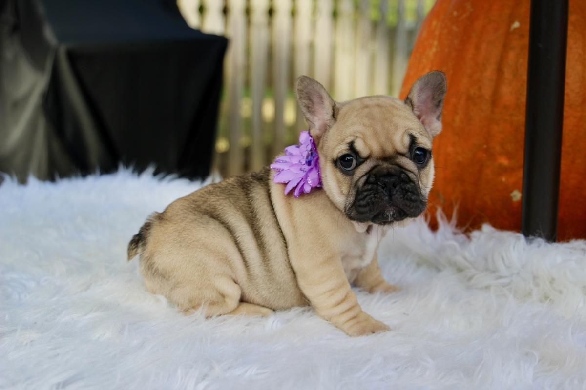 French Bulldog Pups That Carrie Blue And Tri Frenchieforsale