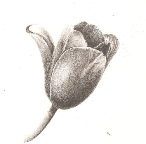 image result for bunch of tulips sketches to draw with pencil