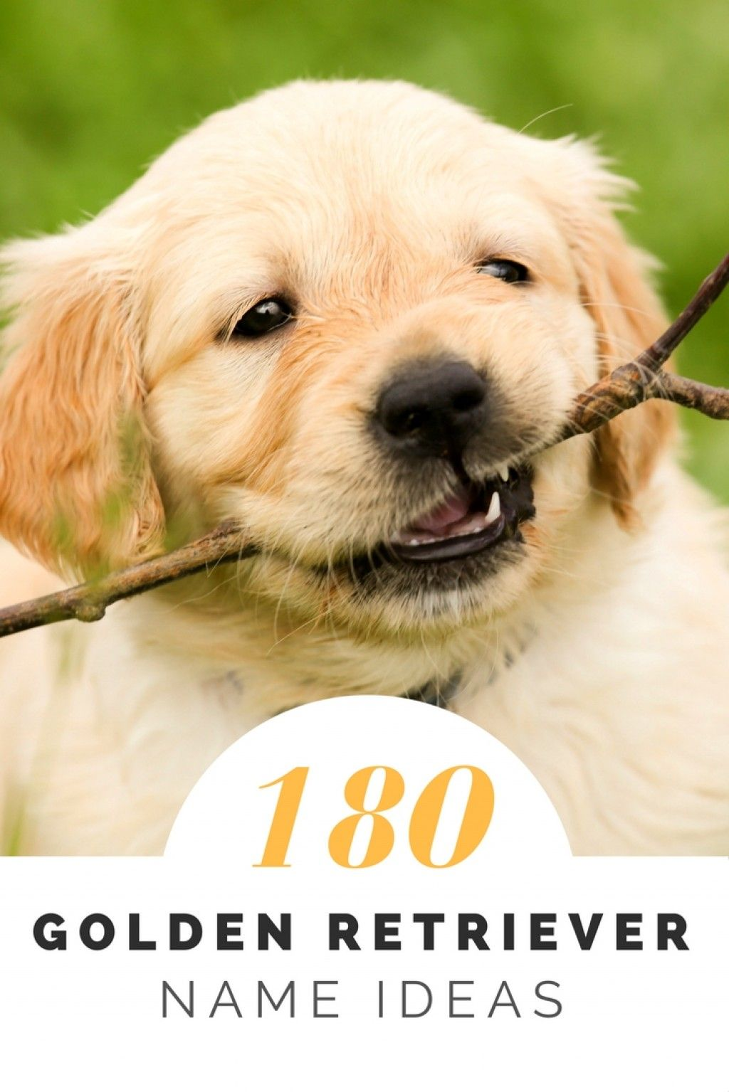 Over 180 Golden Retriever Names For Your Beloved Pup Golden