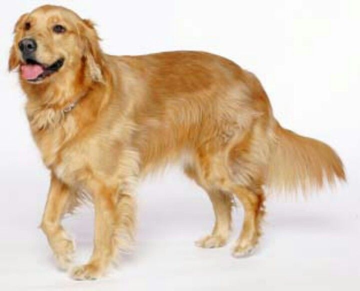 A Standard American Golden Retriever Love Dogs Golden Retriever