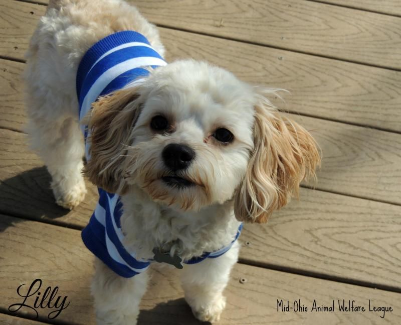 Adopt lilly on cute baby puppies cocker spaniel dog
