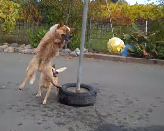 dogs play tether ball together australian cattle dog cattle and dog
