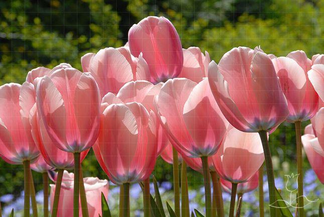 """Darwin Hybrid Tulip 'Salmon Impression'. Tulipa. Single. 20"""" tall. Blooms in May."""