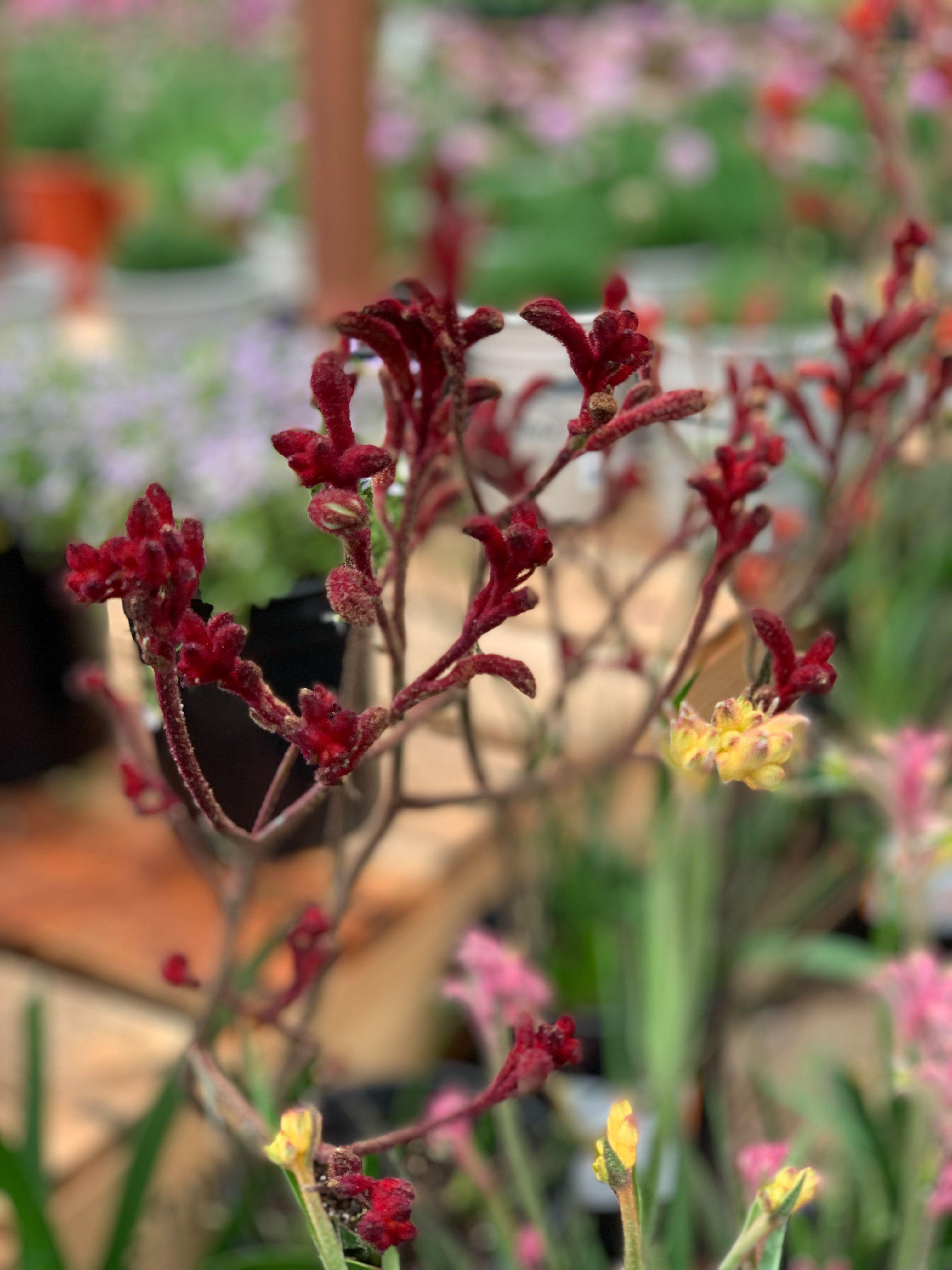 Kangaroo Paw Kangaroo paw, Spring plants, Kangaroo