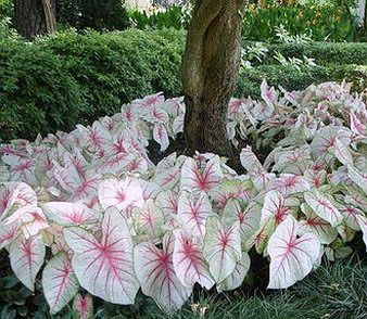 caladium white queen plantas