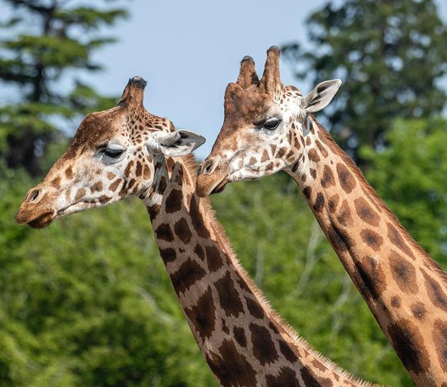 Its the last weekend of Giraffe Week! Join us for extra