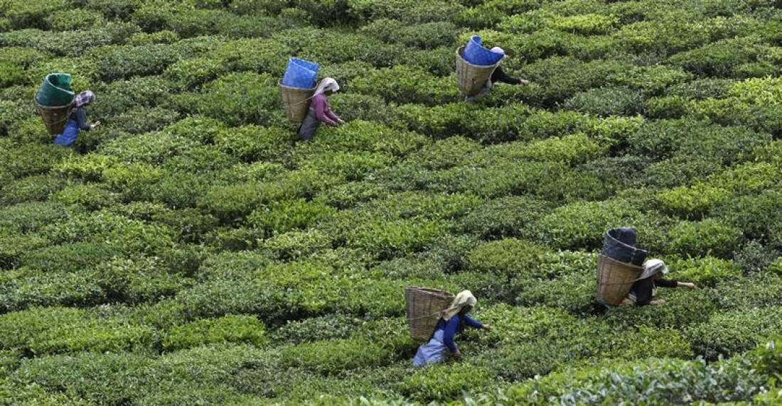 Indian state wins prize for being 100 organic Tea
