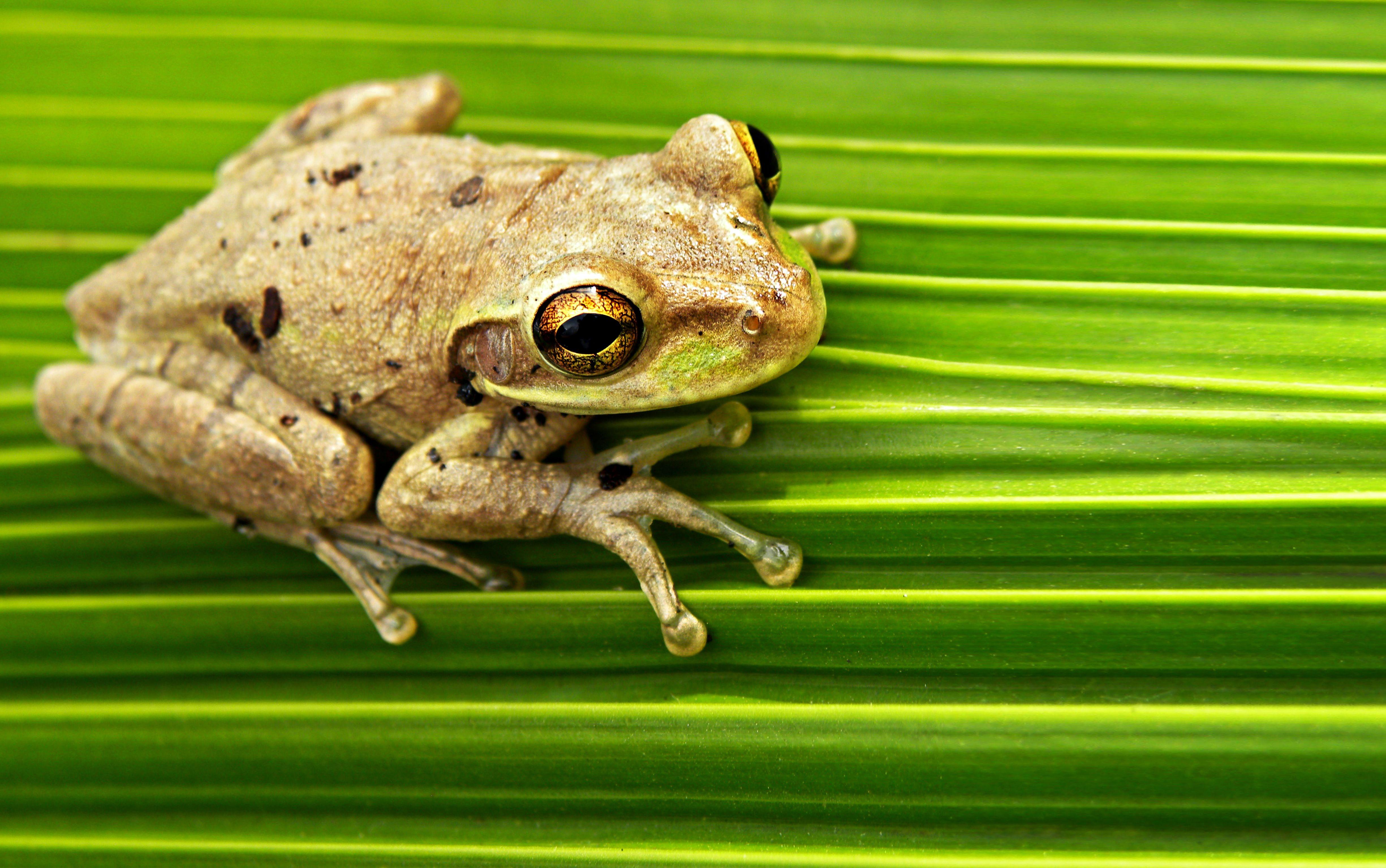 Cuban Tree Frog They Turn Into PrincesFrogs Tree