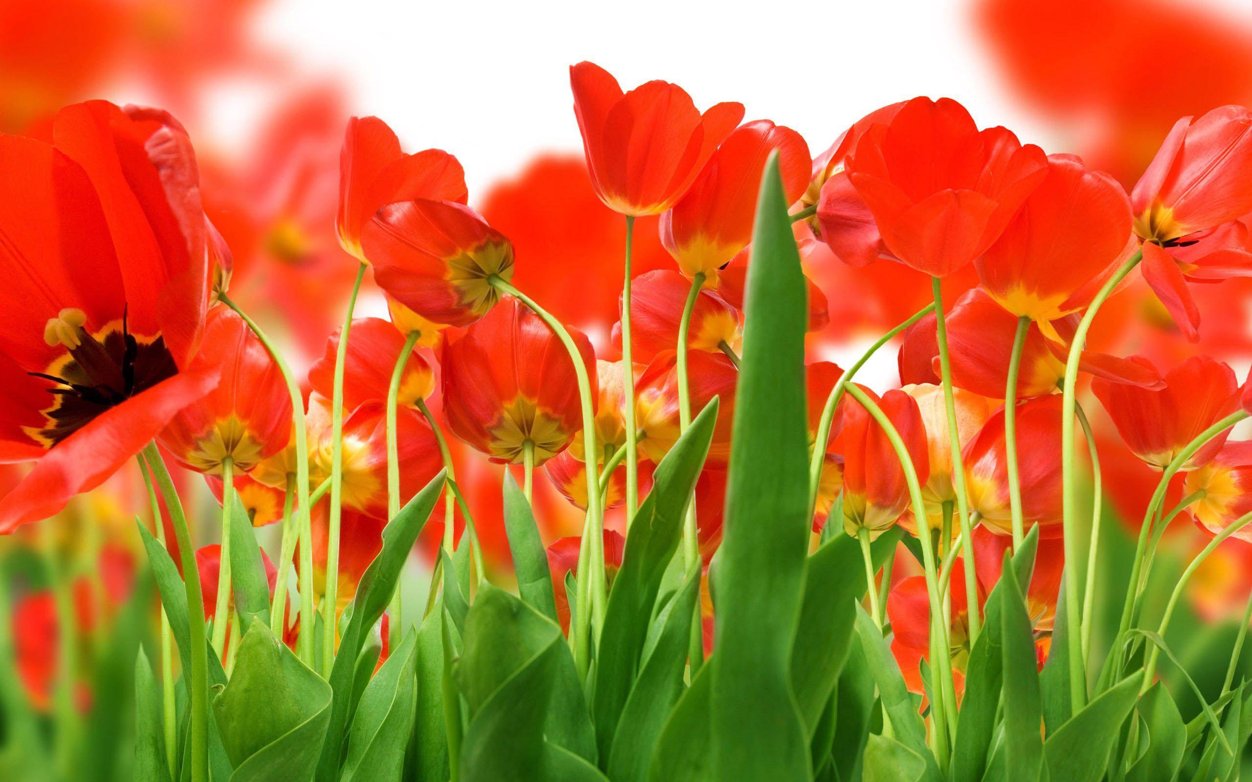 Awesome Flowers Wallpaper Desktop Background Full Screen Krasnye Tyulpany Krasnye Maki Tyulpany