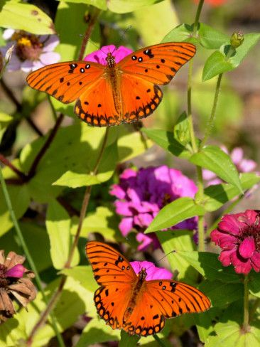 Pair Of Passion Butterflies Perch On Flowers At A Houston Park Photographic Print Allposters Com In 2020 Beautiful Butterflies Butterfly Butterfly Garden