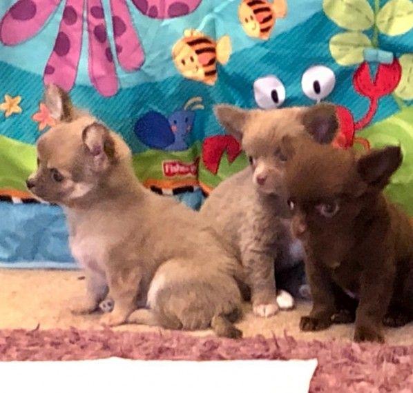 3 Boys 1 Girl Long Coat Chihuahuas For Sale Bradford West
