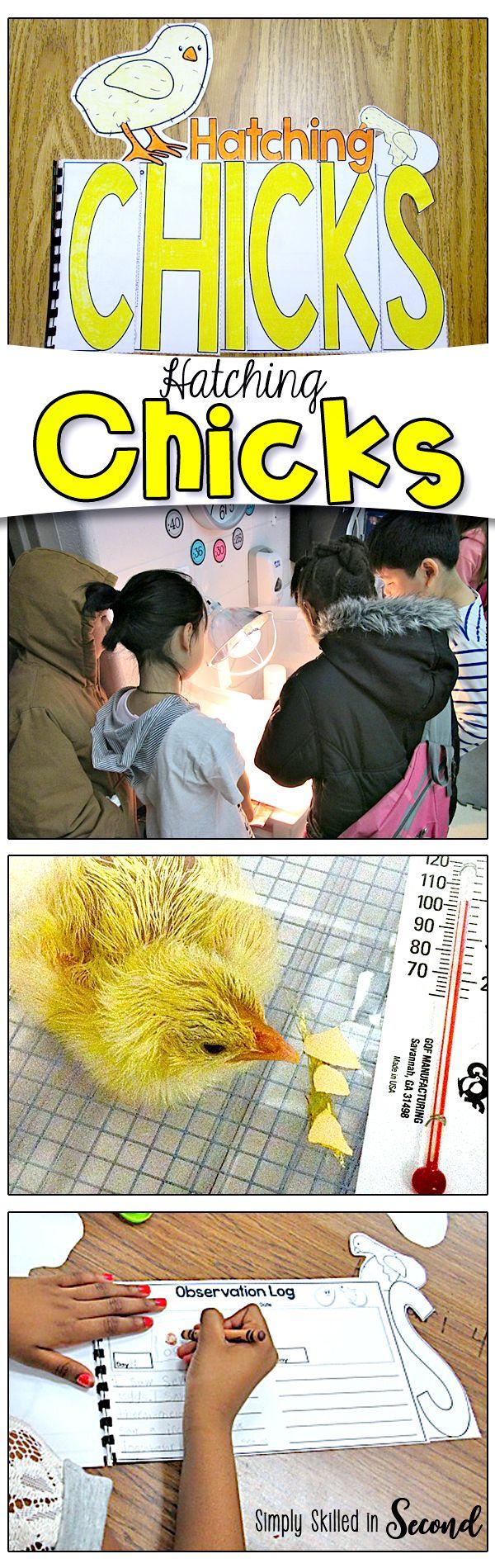 Hatching Chicks Peep Peep Classroom Pets Second Grade Science Science Activities