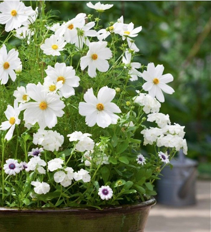 Field guide cosmos cosmos plants and gardens beautiful flowers cosmos sonata white container mightylinksfo