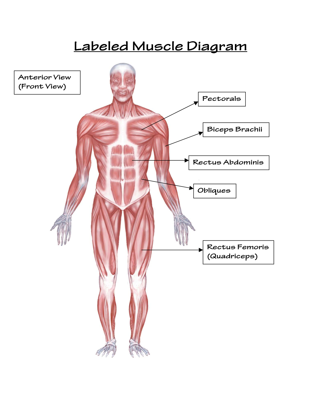 Simple labeled muscle diagram human body diagram pinterest simple labeled muscle diagram human body pooptronica
