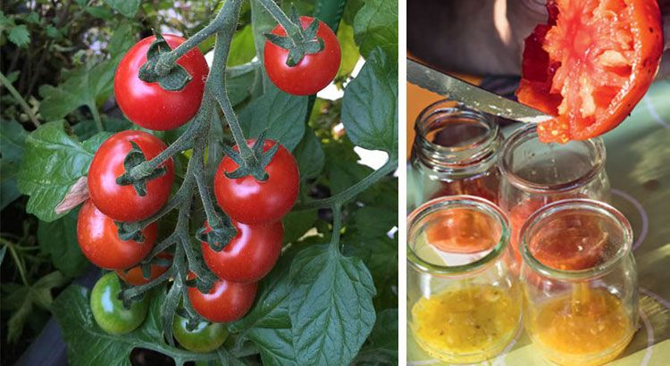 des graines de tomate gratuites pour l an prochain fines herbes vegetable garden garden. Black Bedroom Furniture Sets. Home Design Ideas
