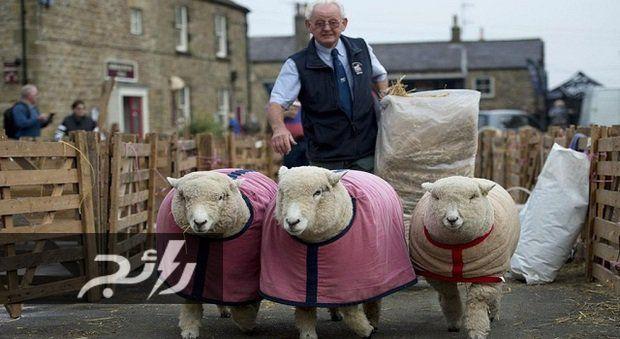صور احتفال في بريطانيا لاختيار ملك جمال الخرفان موقع رائج Sheep Animal Planet Pictures