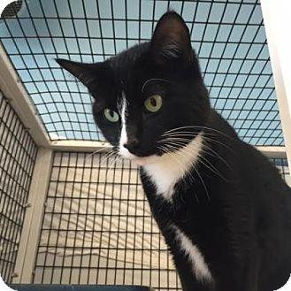 Domestic Shorthair Cat For Adoption In Denver Colorado Archer