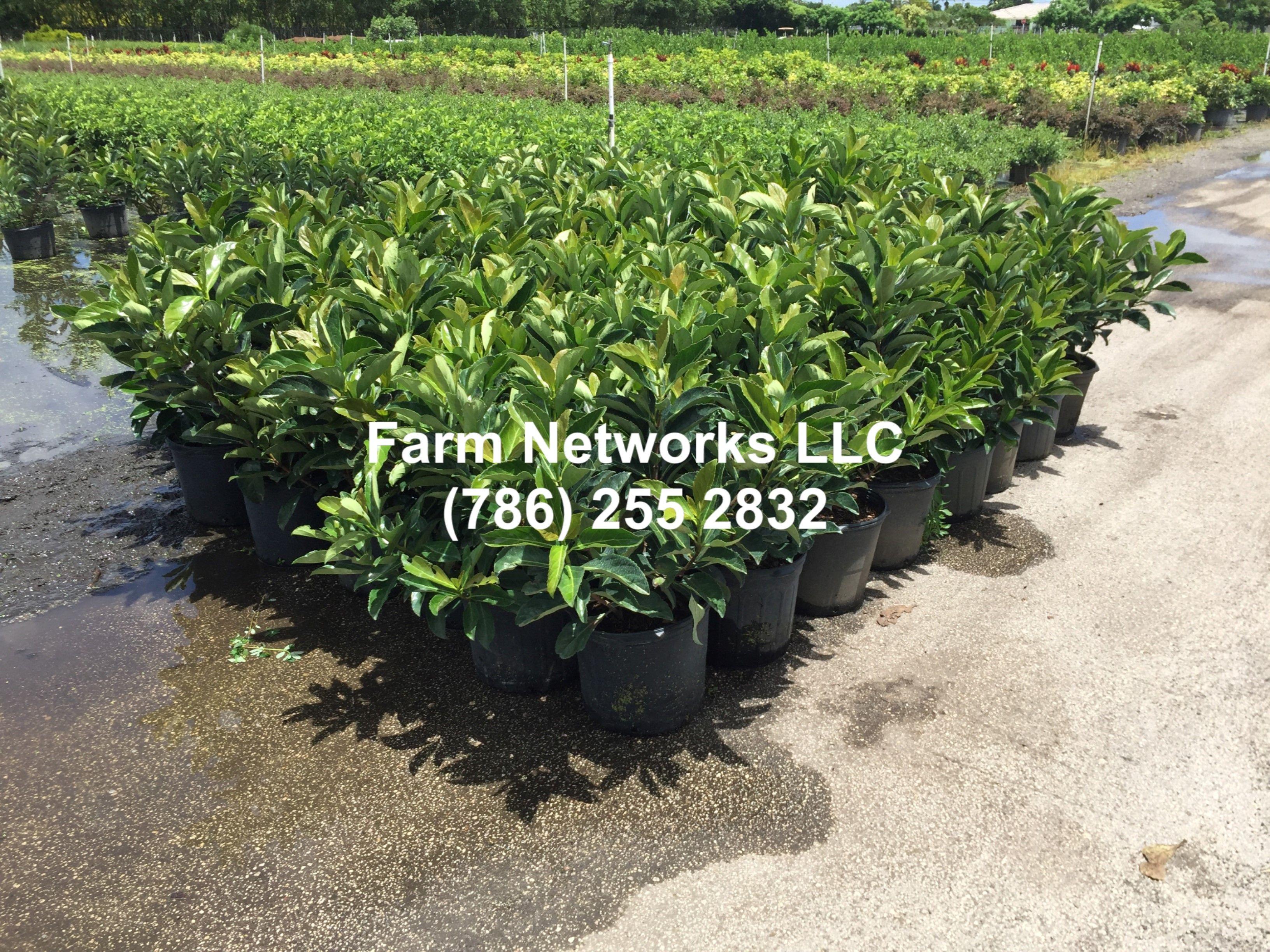 Viburnum Awabuki Hedge Plant Nurserynaplesnurserygreen Houses
