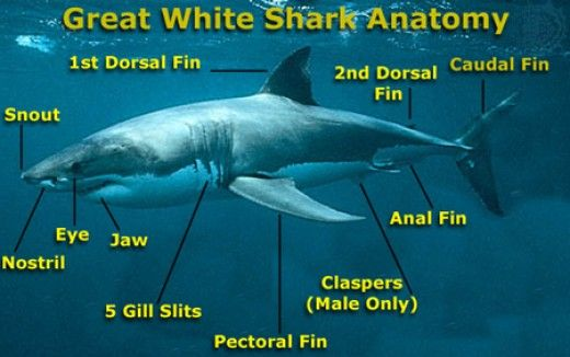 Interesting Facts About Great White Sharks For Kids Shark Facts White Sharks Sharks For Kids