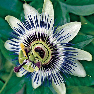 Blue Passion Flower Blue Passion Flower Passion Flower Flowering Vines