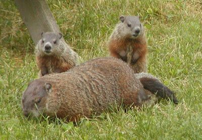 Groundhog In Backyard - BACKYARD HOME