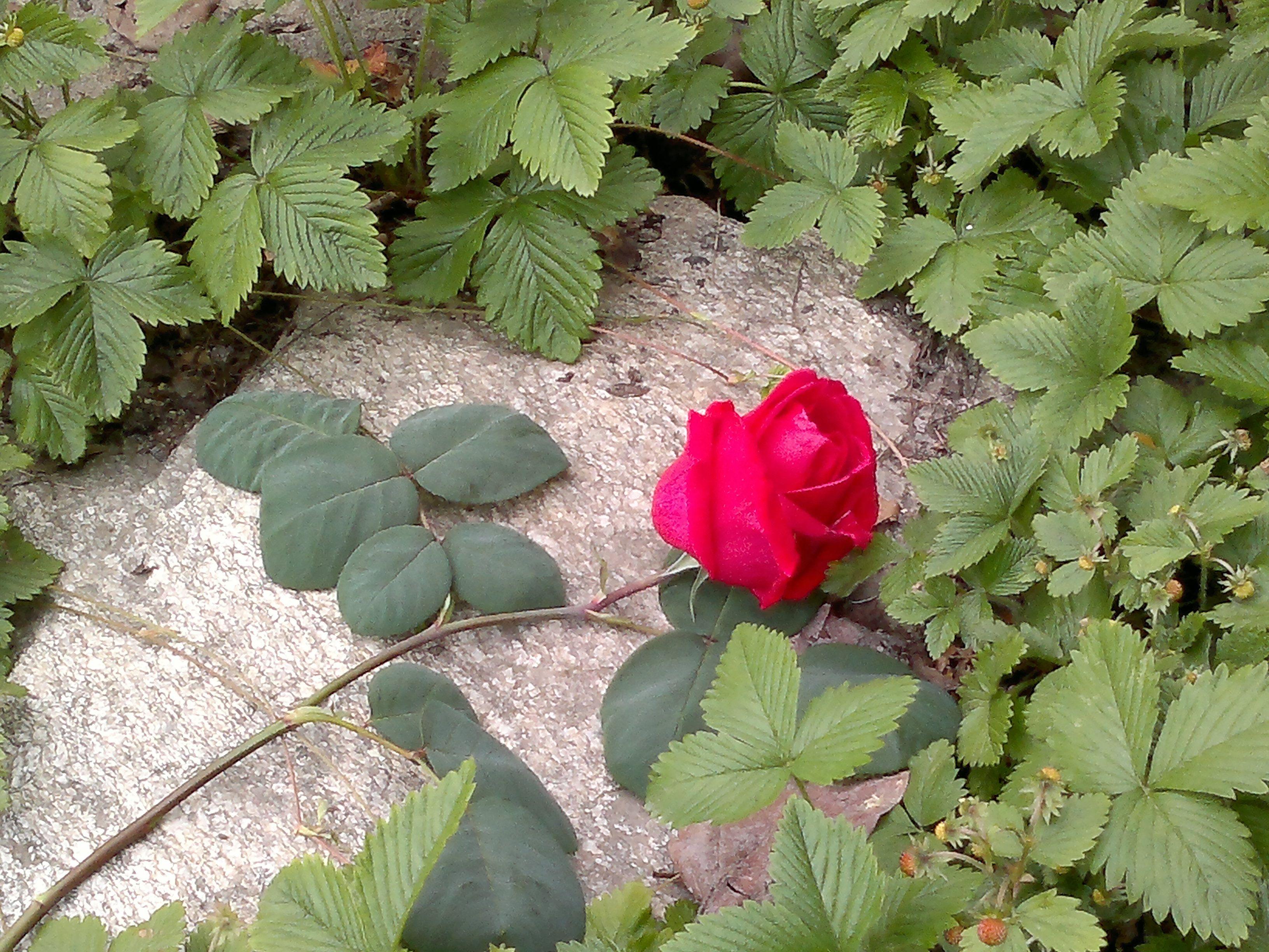 Rosa y fresas de bosque