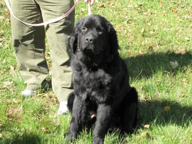 Black Newfoundland Puppy Golden Retriever Mix Puppies Dogs