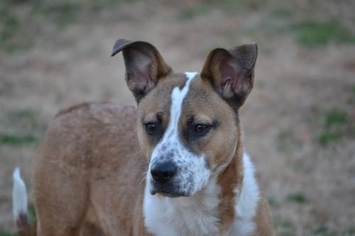 Meet Perci, a retriever mix. She is very loving. For more info contact Athens Limestone Animal Shelter or visit petfinder.com
