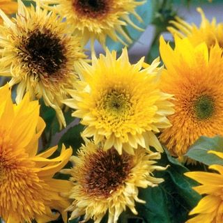 Sunflower Starburst Mix Hybrid In The Big Seed Book From Park Seed On Shop Catalogspree Com My Personal Digital Mall Wild Flowers Sunflower Plants