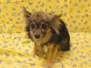 Batman Is An Adoptable Chihuahua Dog In Upper Marlboro Md