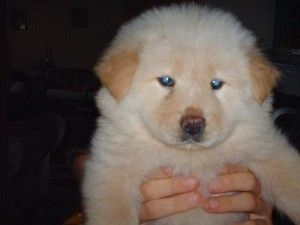 Chow Chow Puppies With Blue Eyes