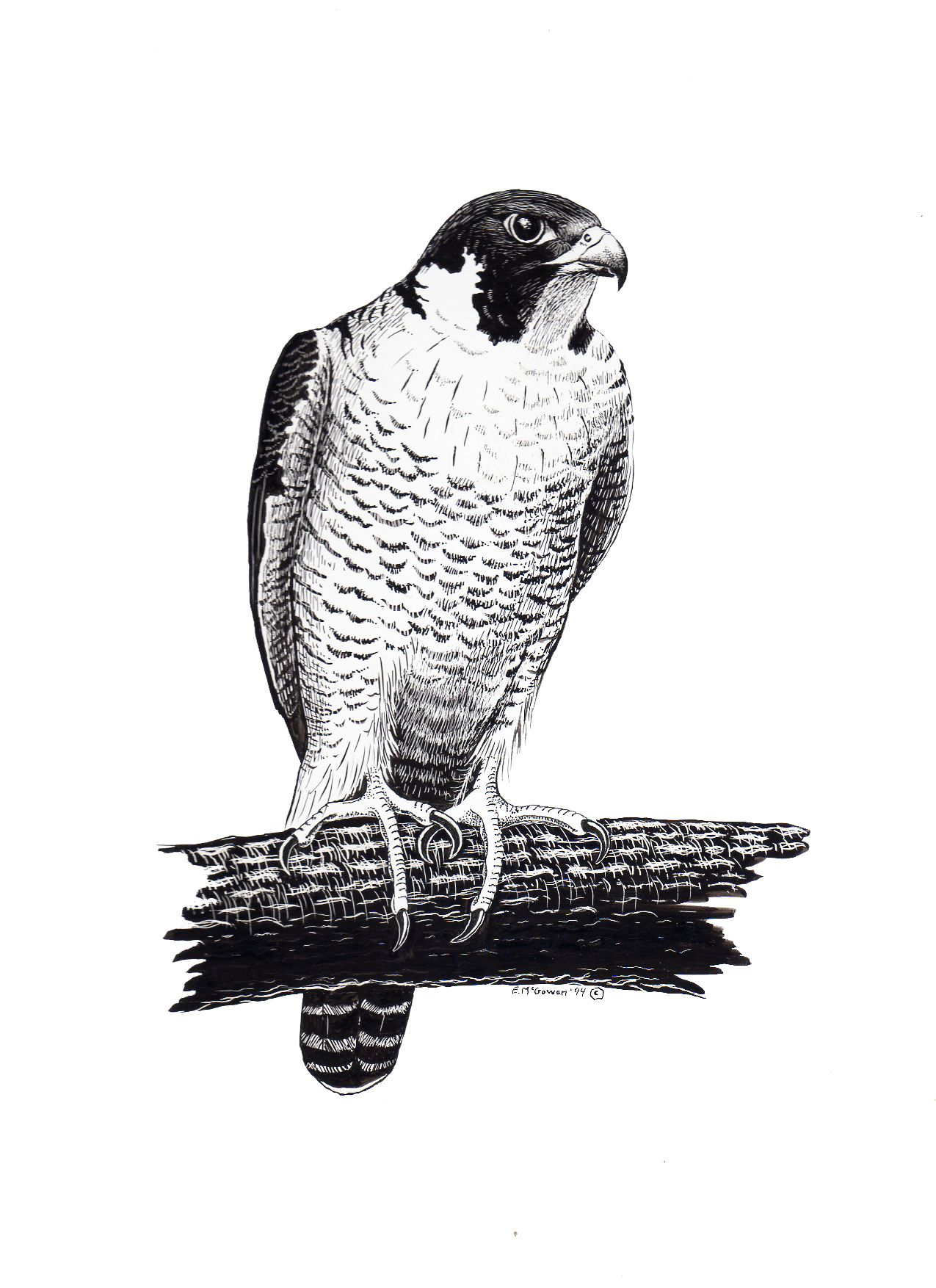 Birds Tattoos Illustrations: Peregrine Falcon Illustration