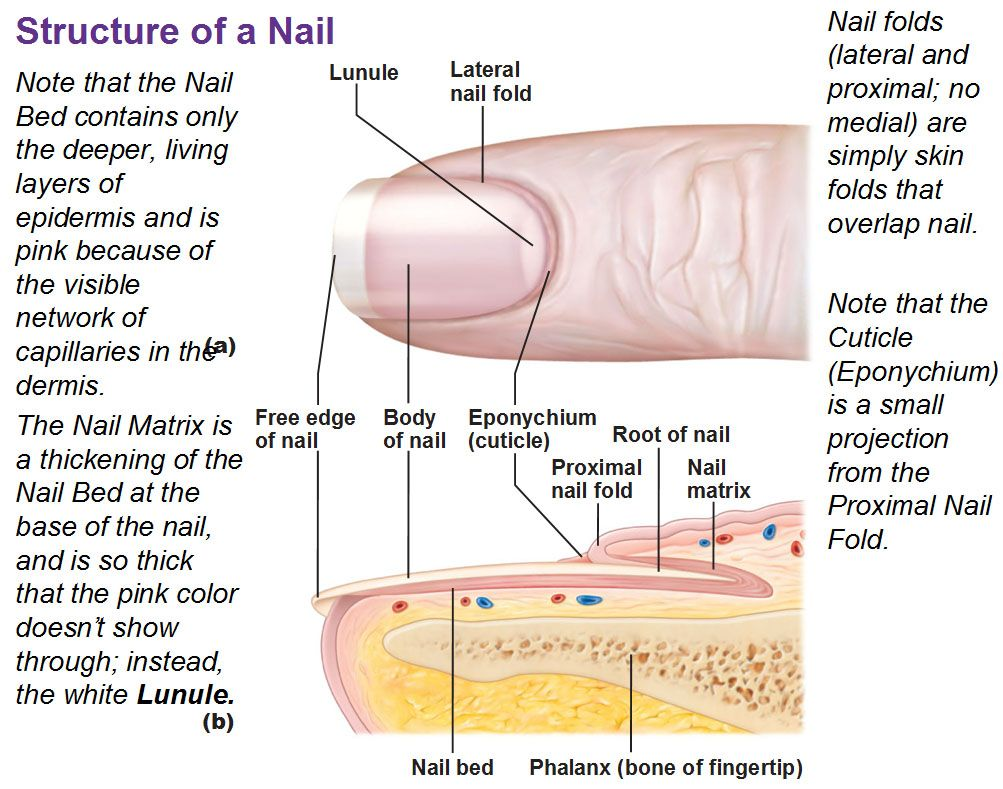 Diagram Of Fingernail Wiring Diagram Schematics