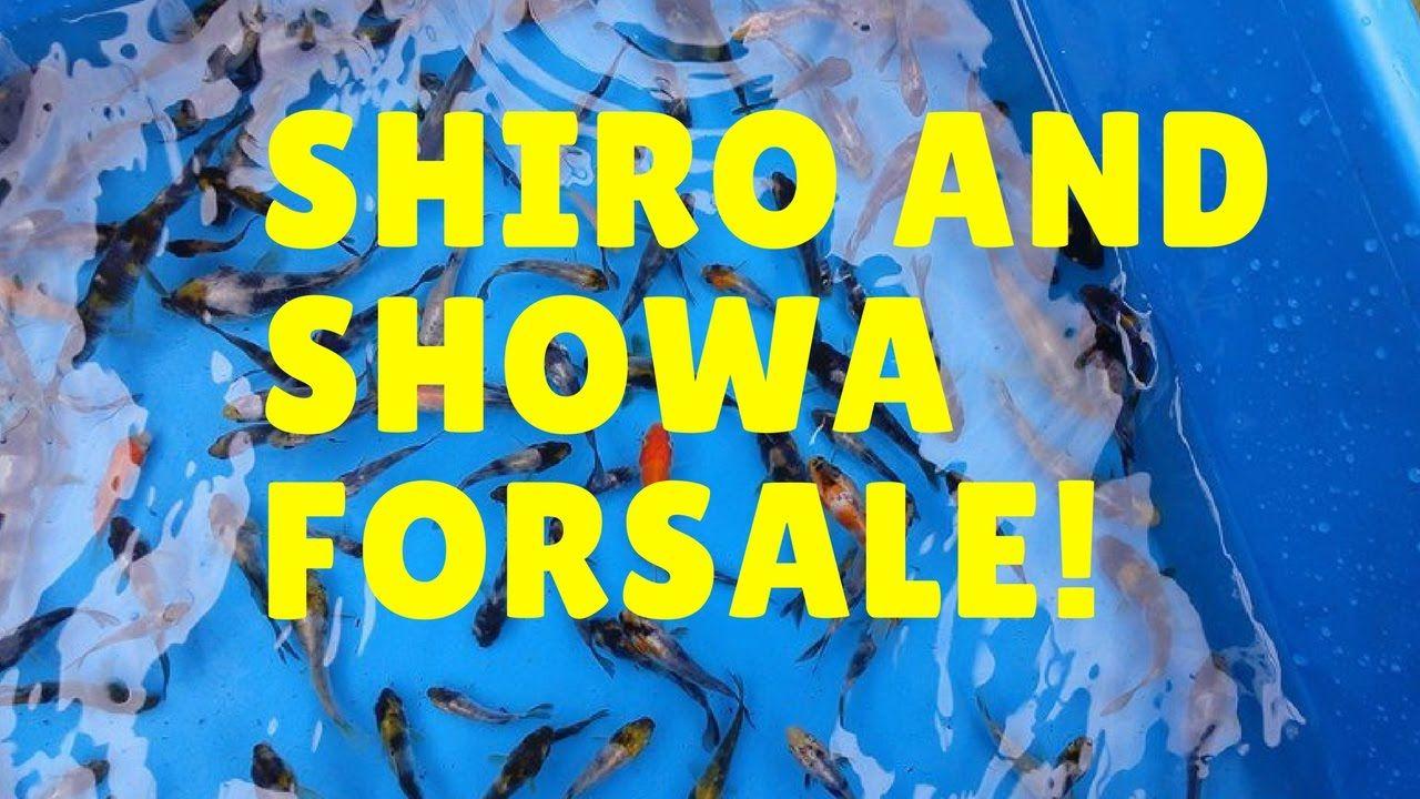 Koi Fish For Sale Shiro And Showa Koi Fish For Sale Koi Fish Fish For Sale
