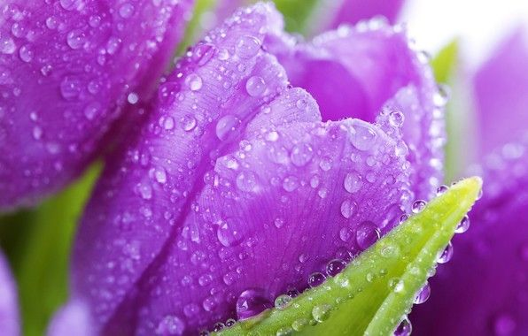 Pin By Helen Unychenko On Beauty In Purple Purple Flowers Wallpaper Purple Tulips Purple Flowers