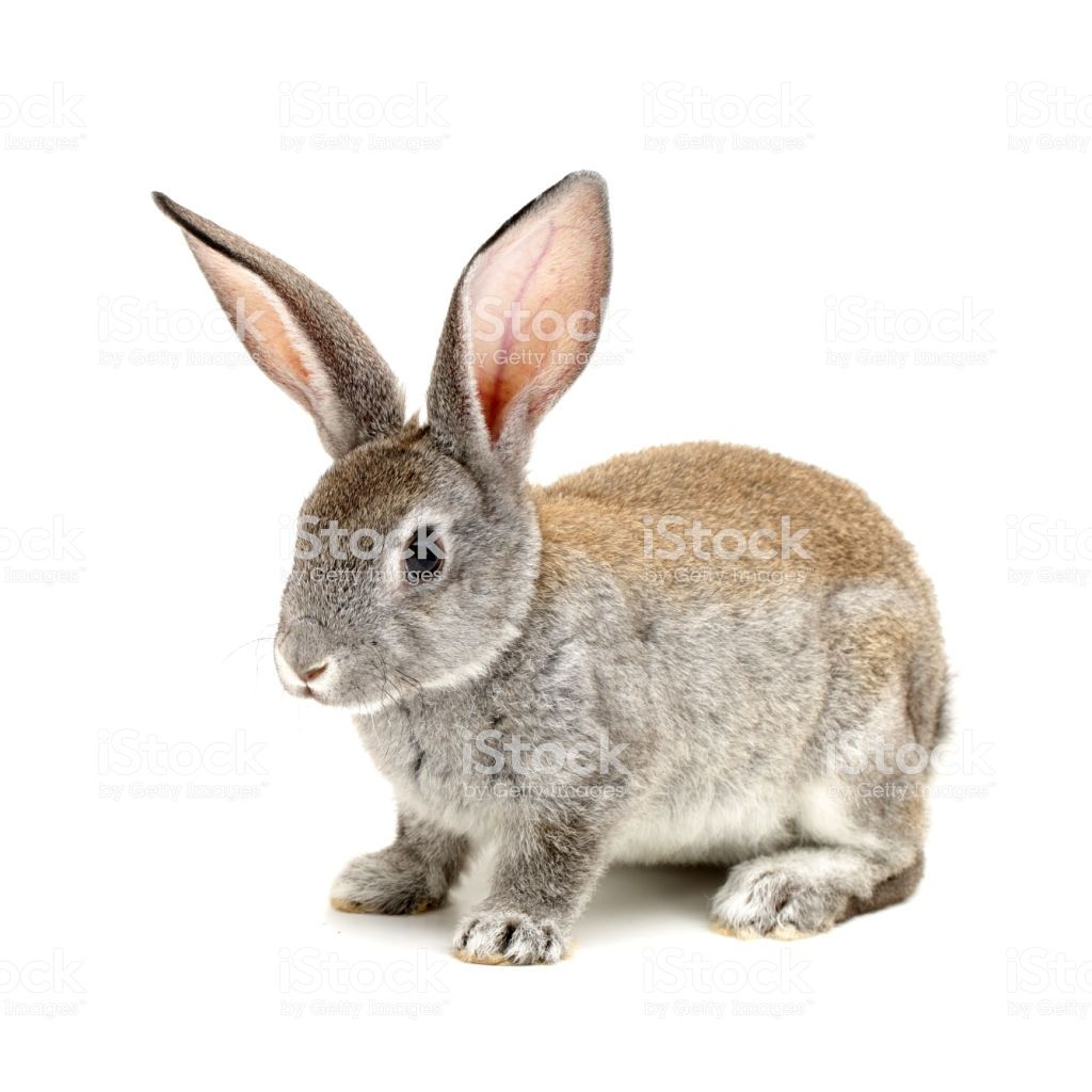 Baby Bunny On A White Background With Images Animals Pets