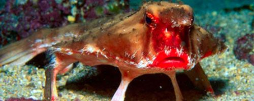 Red Lipped Batfish Pictures Red Lipped Batfish Incredible